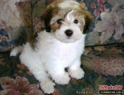 Havamalt A Havanese Maltese Britt Really Wants One Of These But Apparently We Can Each Get One Of Our Own Puppies And Kitties Cute Animals Pet Dogs Puppies