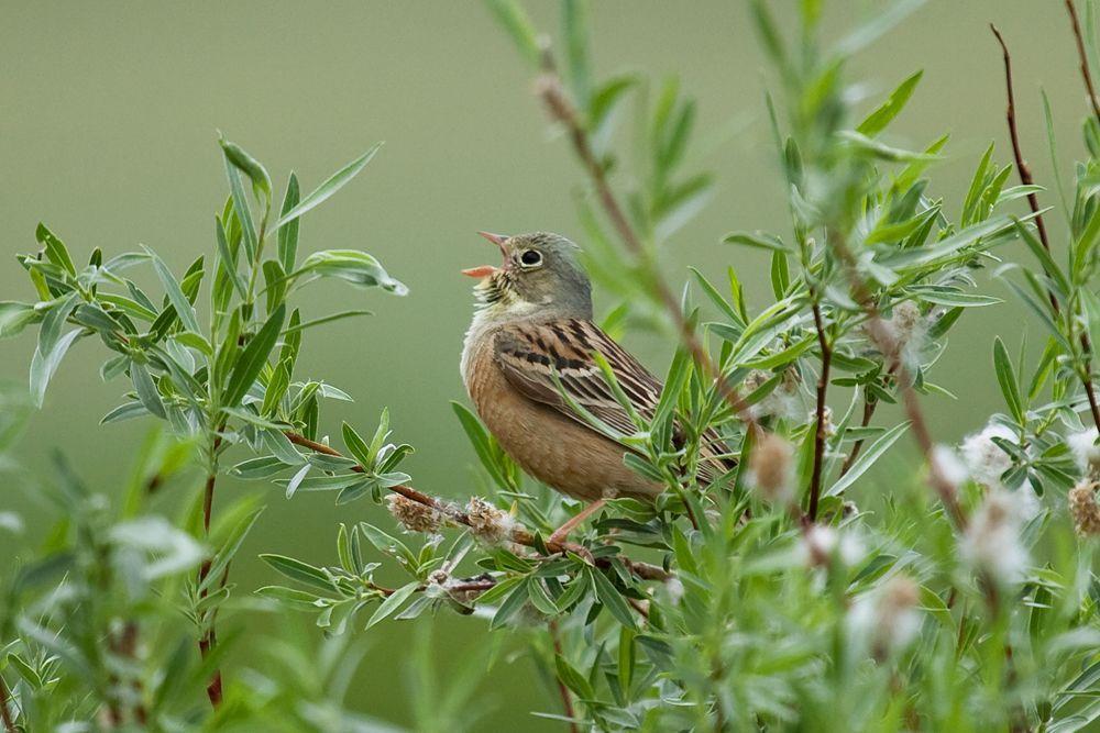 Singvogel In Der Sternekuche Seltene Vogel Jagd Sterne
