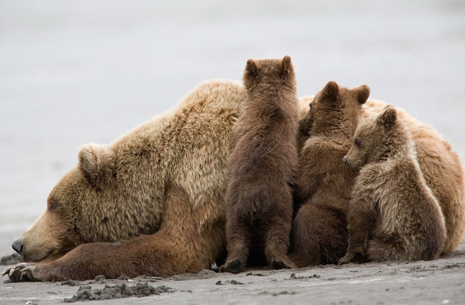 """hank perry photographs a mother grizzly bear and her triplets in alaska's katmai national park."