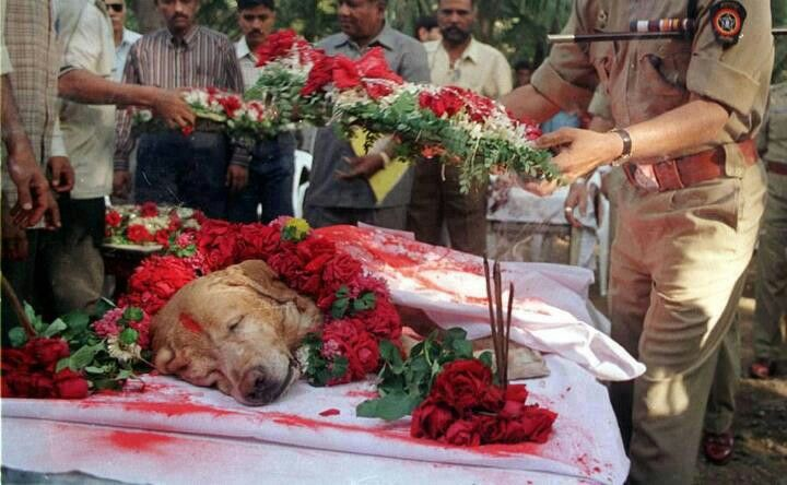 Zanjeer saved thousands of lives during Mumbai serial blasts in March 1993. He detected  more than 3,329 kgs.of the explosives RDX, 600 detonators, 249 hand grenades and 6496 rounds of live ammunition. He was buried with full honours during a ceremony attended by all. A true hero!