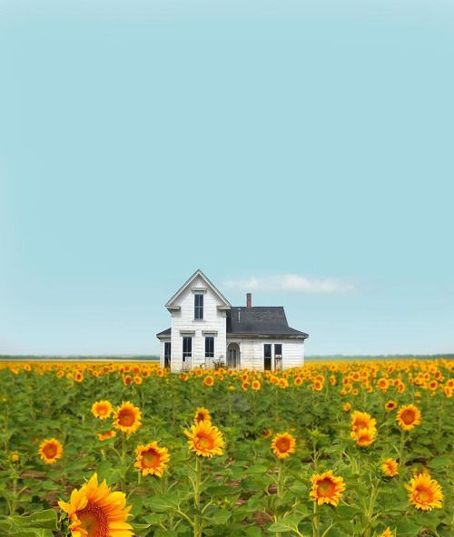 Abandoned House In Field Of Sunflowers