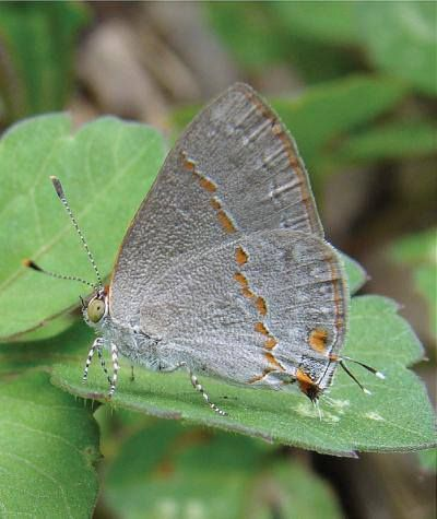 A new butterfly with olive-green eyes has been discovered in Texas, scientists report this week. In the United States, identifying a truly distinct butterfly is rare, scientists say.