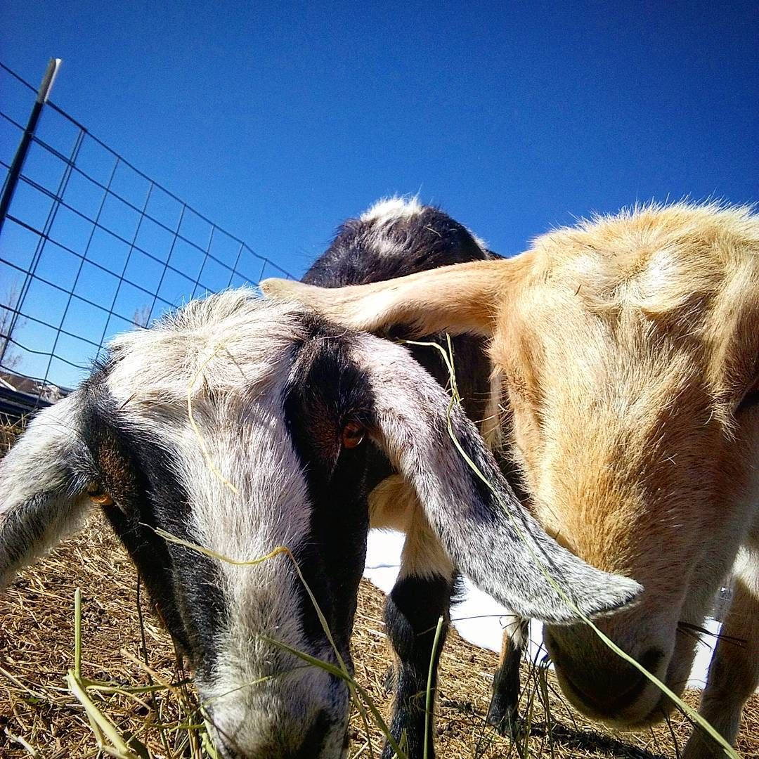 #countryhomefarm  #goatselfie