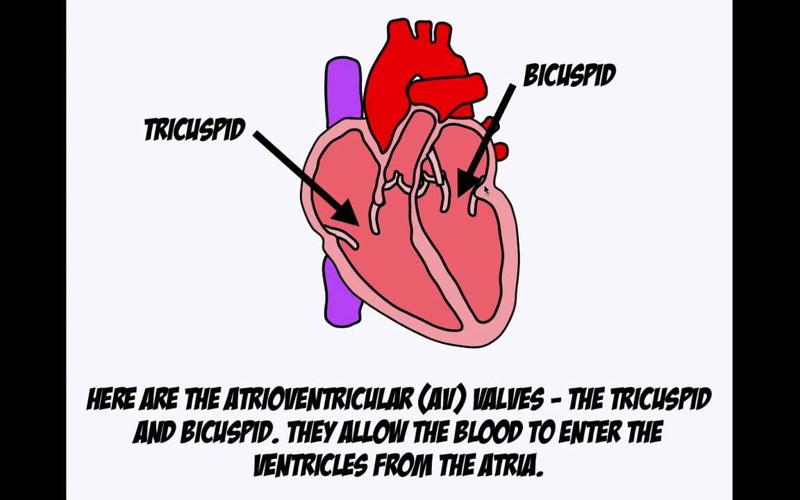The Cardiac Cycle.mov Cardiac cycle, Vascular ultrasound
