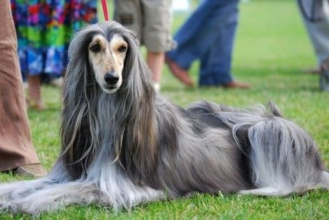 Going Gray Lucky You Afghan Hound Hound Dog Dog Breeds