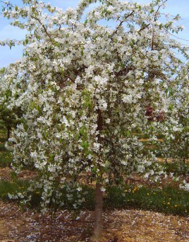 Alcock Nurseries Ltd Plant Pictures Plant Pictures Plants Crabapple Tree