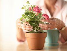 Rosas variadas podem ser cultivadas em vaso, mas não toleram compartilhar o espaço com outras plantas