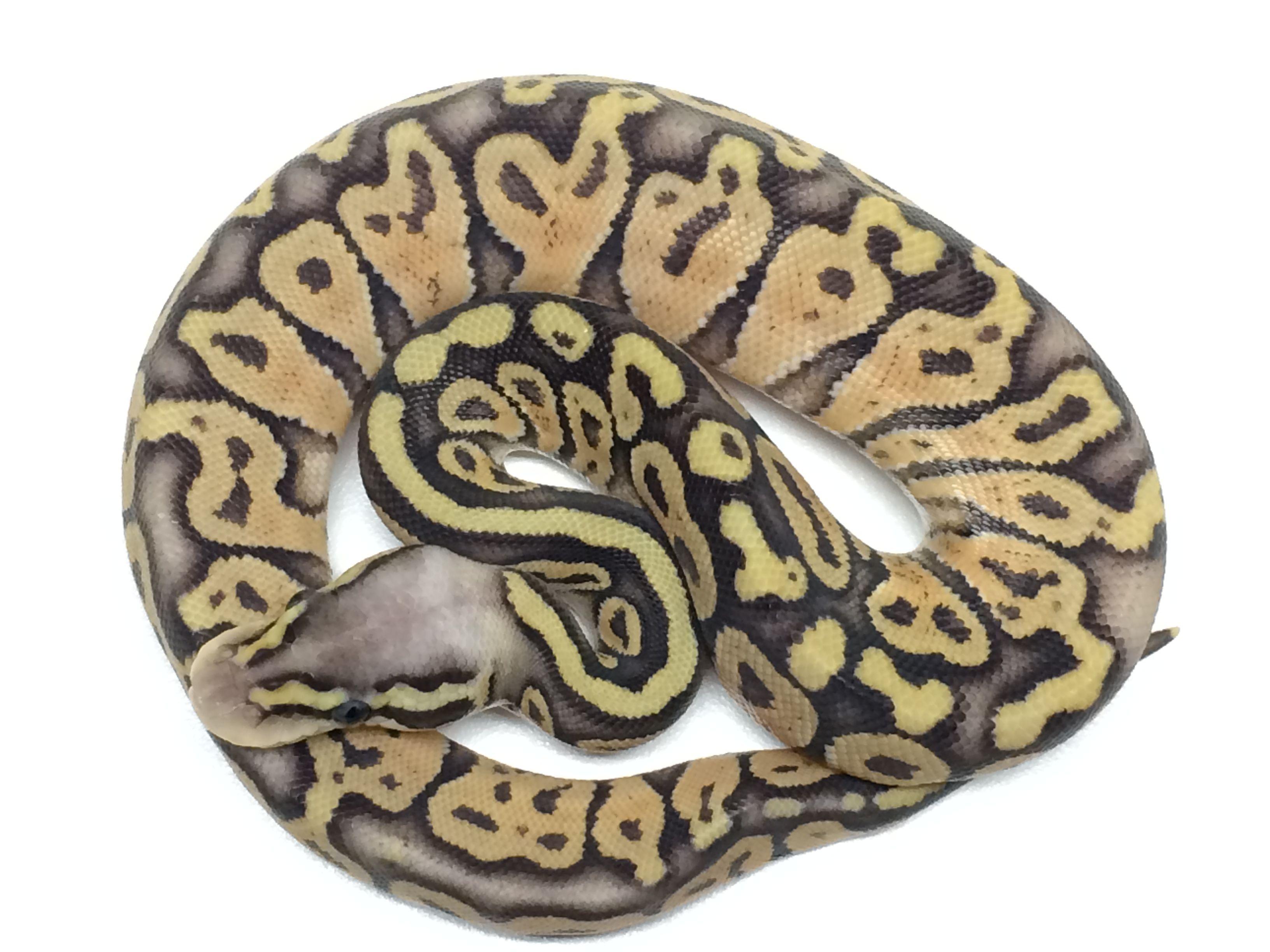 Baby Super Pastel Ball Python | animals | Ball python, Ball