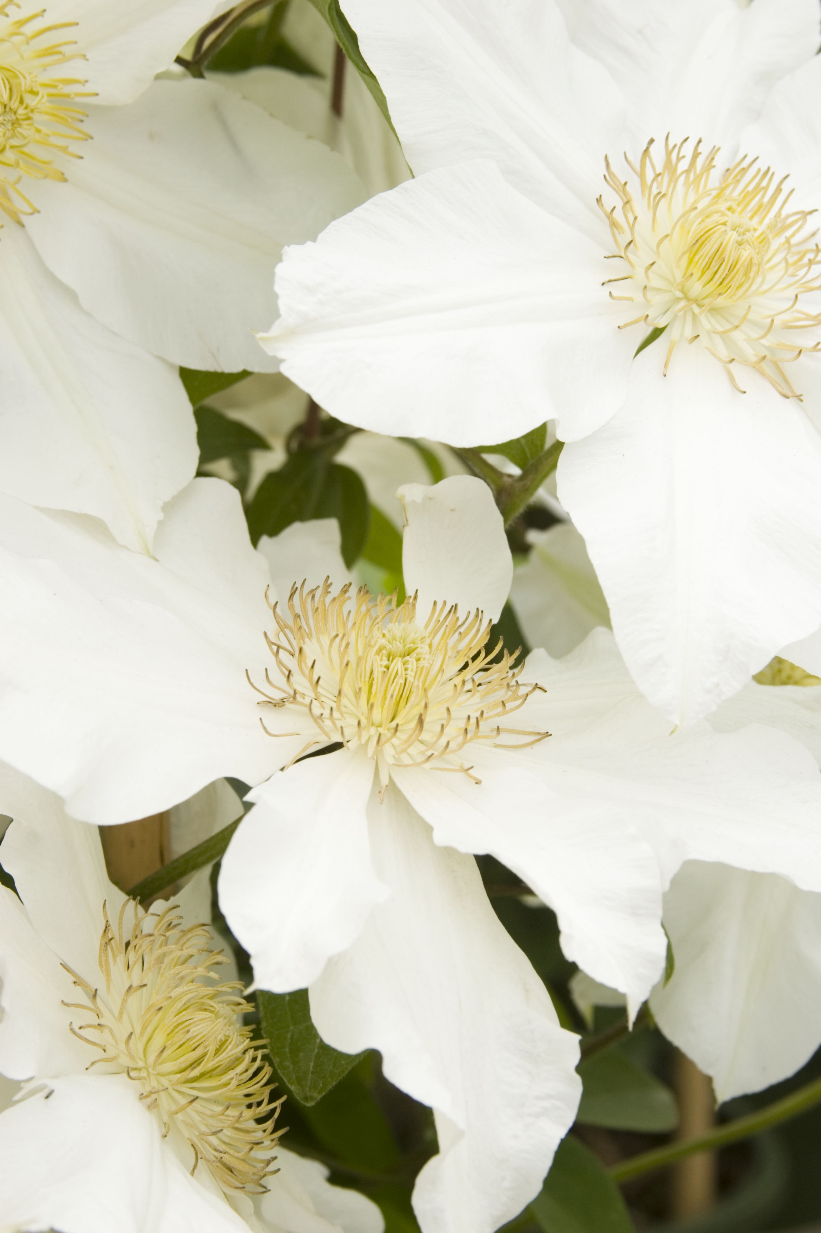 Jump Start The Season With These Large Pure White Flowers With Del