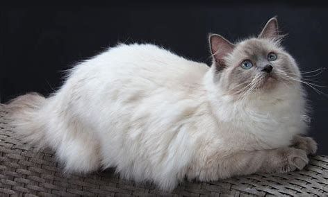 Image result for Ragdoll Cat Cat breeds, Cute cats, Cat pose
