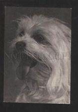 070529 Maltese LAP-DOG Old Photo Russian PC