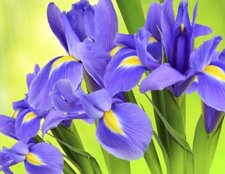 Irismeaning Faith Thank You For Your Friendship Scientific Name Iris Sanguineaivy Iris Flowers Herbaceous Perennials Plants