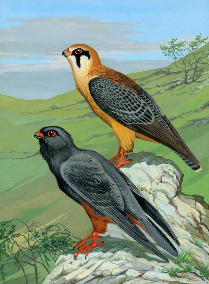 кобчик птица рисунок