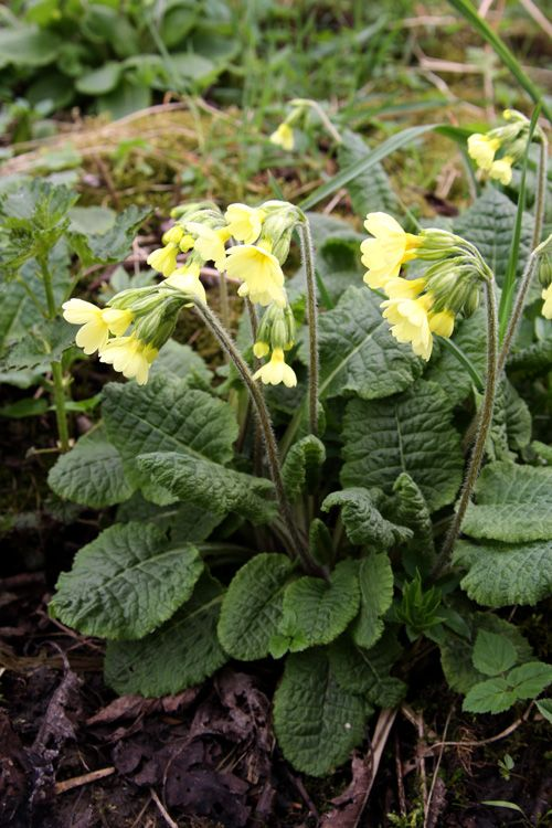 I just dug up loads of these from the roadside and planted in the garden...beautiful, free, edible and medicinal wildflowers! Healing Weeds: Cowslip
