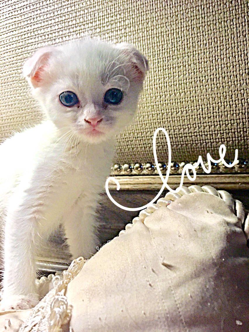 Pin On Scottish Fold Kittens And Exotic Fold Kittens