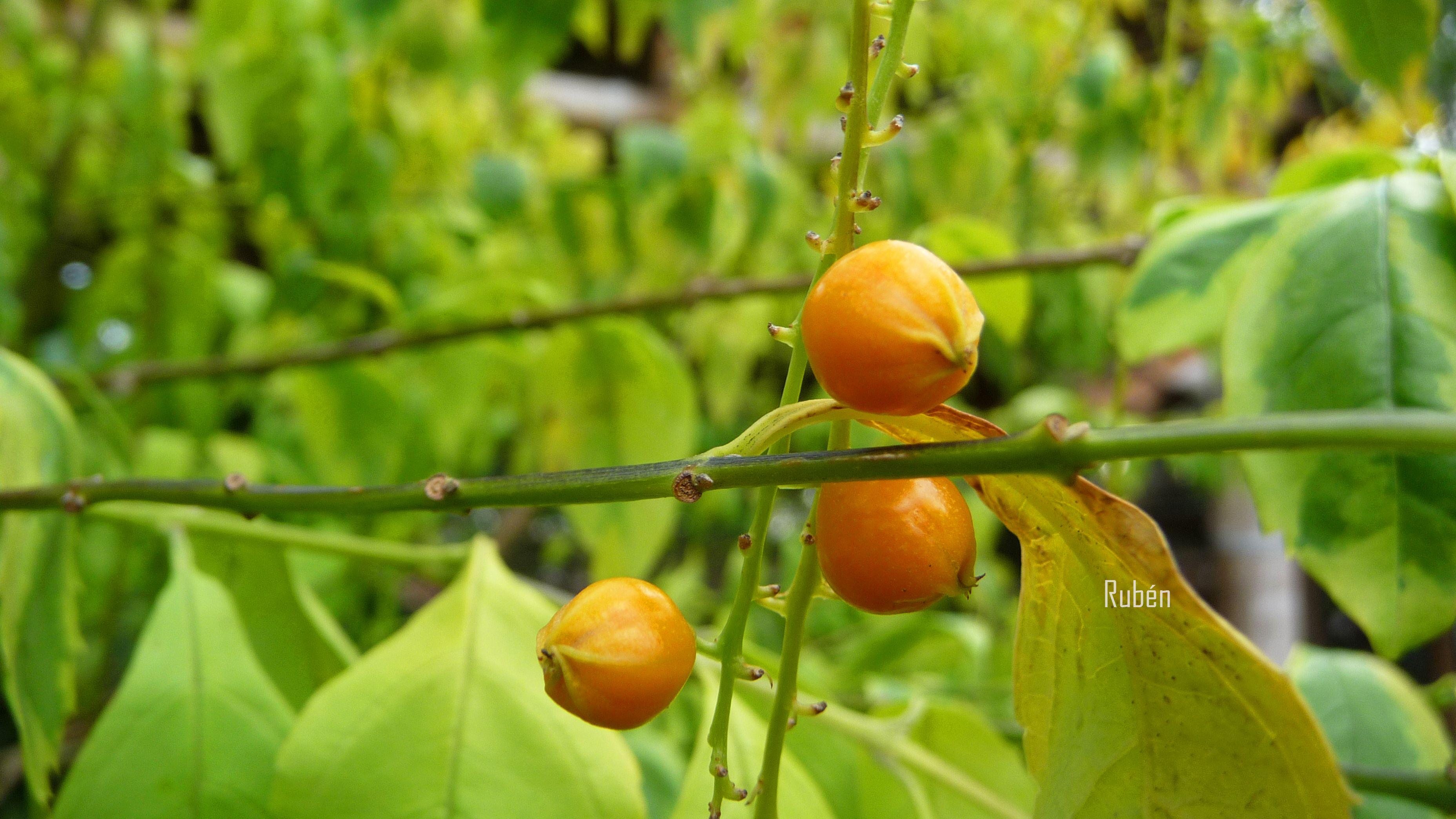 Flor de duranta (Guarda-parque)