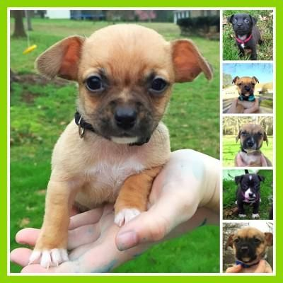 Adopt Chihuahua Puppies On Chihuahua Puppies Chihuahua Puppies