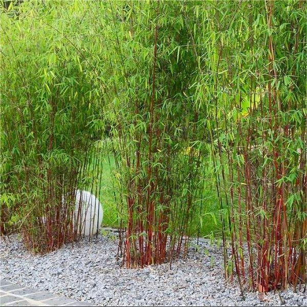 Pack Of Three Fargesia Asian Wonder Clumping Umbrella Bamboo Plants Bamboo Landscape Bamboo Plants Bamboo Garden