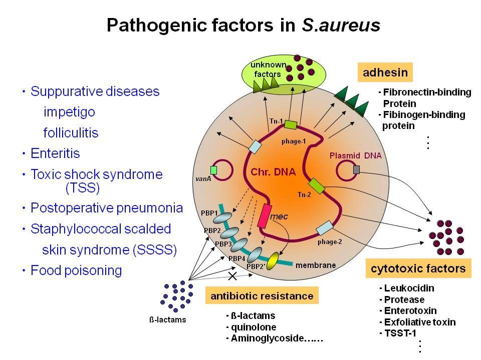 S. aureus patogenicidad | Staphylococcus aureus ...  Staphylococcus