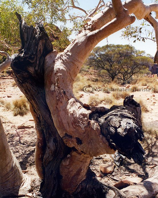 In Australia gli alberi si mettono il cappotto per proteggere le parti vecchie dai parassiti  by nonchiamatemiturista