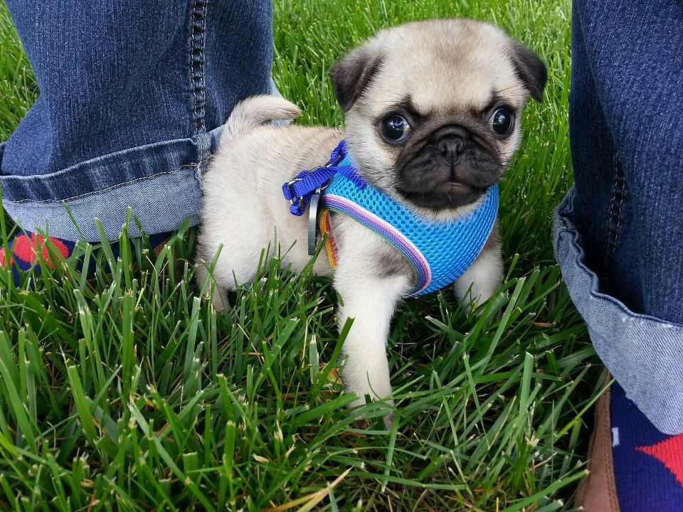 Meet My New Pugglett Tardis Cuz Pugs Are Bigger On The Inside