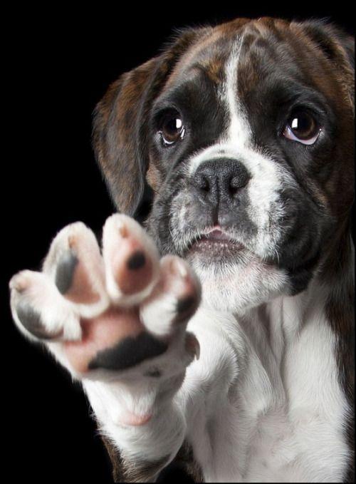 Dogs Super Adorable Boxer Tiere Hunde Supersüßer Welpe Und