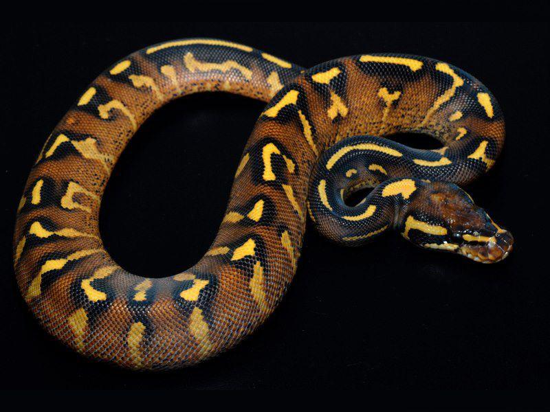 Super gravel | Ball pythons | Pinterest | Serpientes, Anatomía ...