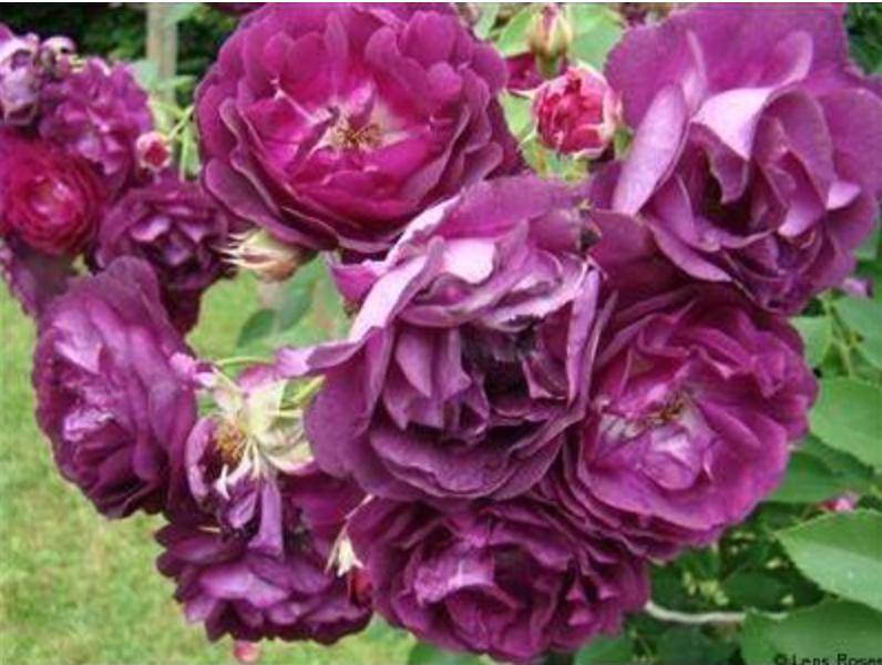 rosengarten zweibr cken les fleurs sont moyennes pleines tr s parfum es la couleur violette. Black Bedroom Furniture Sets. Home Design Ideas
