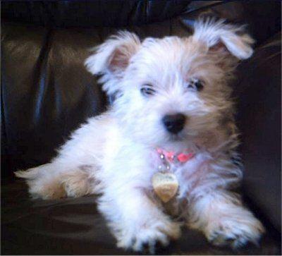 Weshi Westie Shih Tzu Puppy Hybrid Dogs Dog Breeds