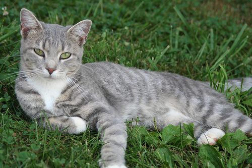Image result for grey tabby cat with green eyes
