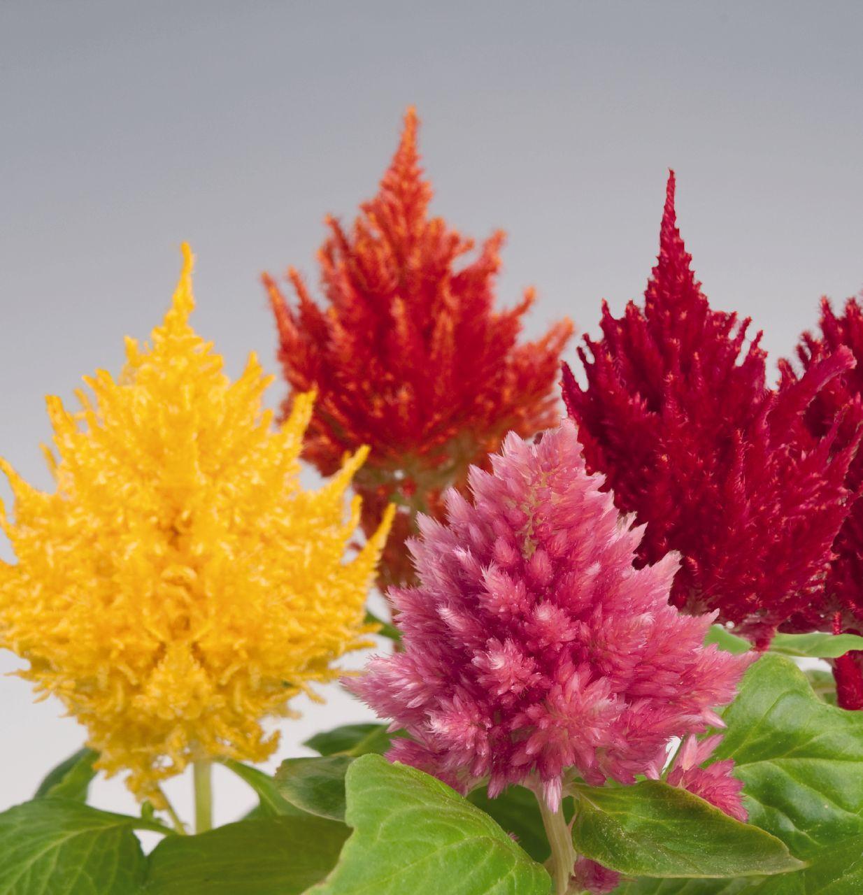Celosia iekler flowers iekler pinterest flowers and photo of glorious mixture celosia flowers izmirmasajfo Image collections