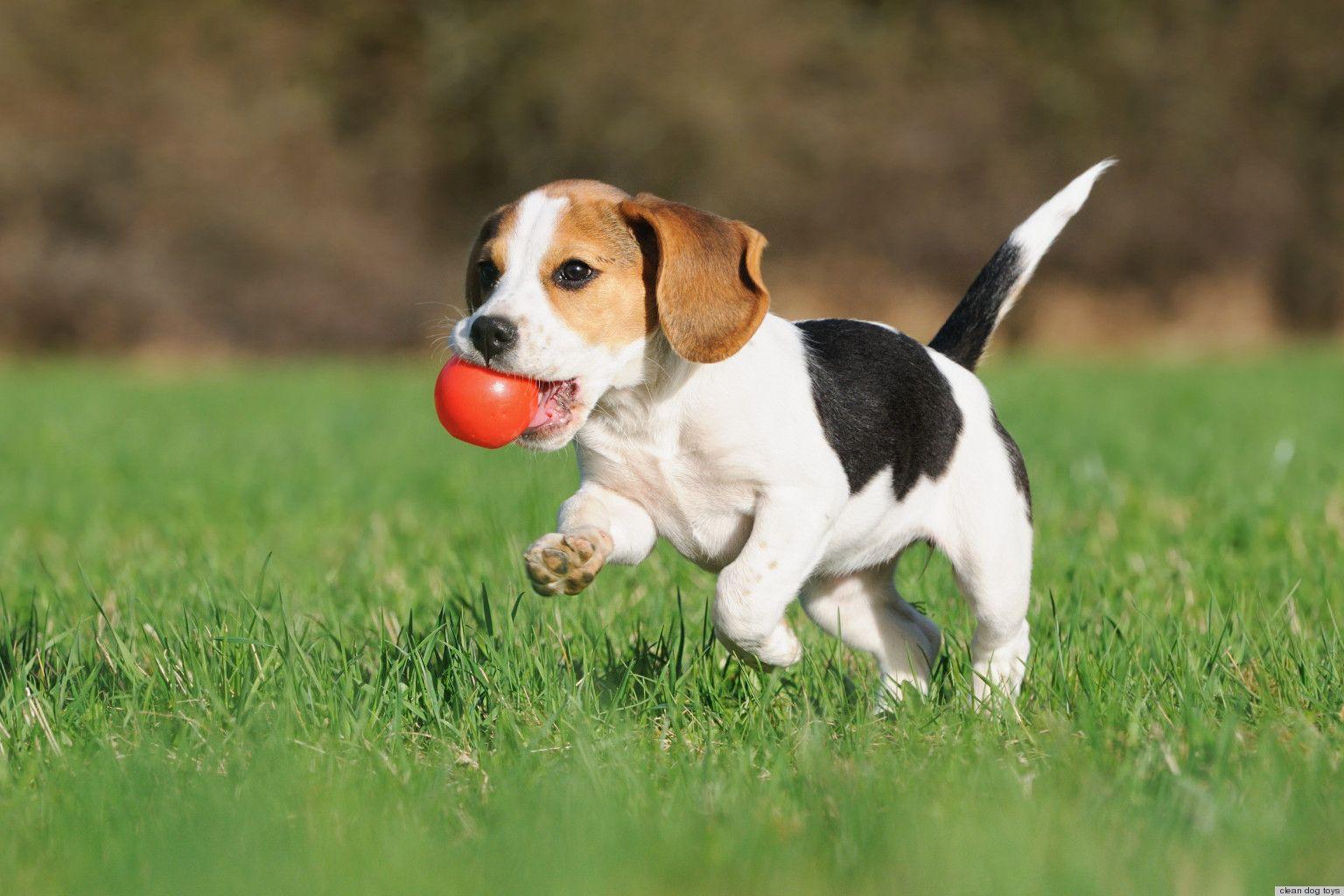 Beagle Puppy Playing Beagle Puppy Stinky Dog Puppy Training