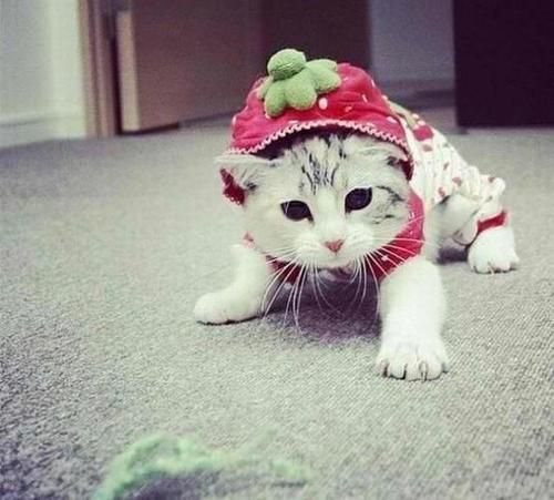 I dont' think it's right to dress cats. It looks not verry happy..