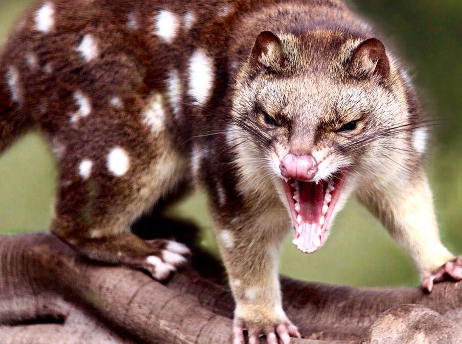 50 Best QUIRKY QUOLLS images   Quoll, Quirky, Marsupial