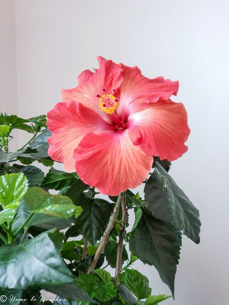 Hibiscus Plant Care Troubleshooting And Pest Control Hibiscus