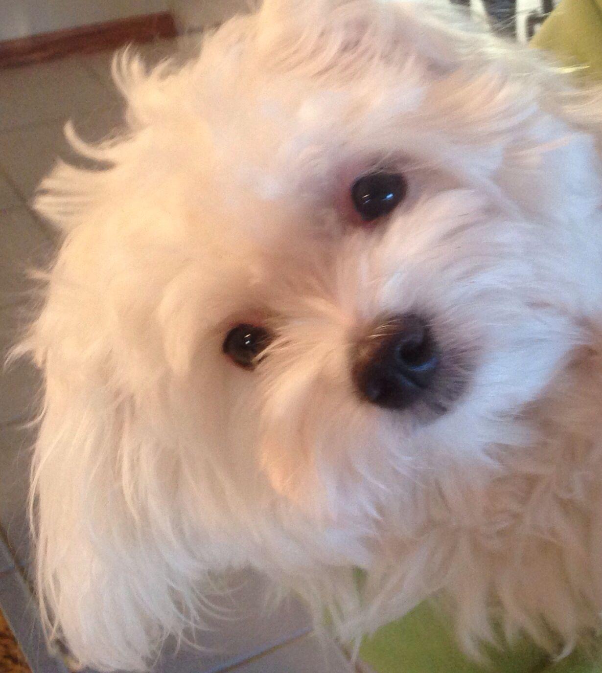 Maltese Puppy Bentley Love Maltese Puppy Maltese Dogs Animals