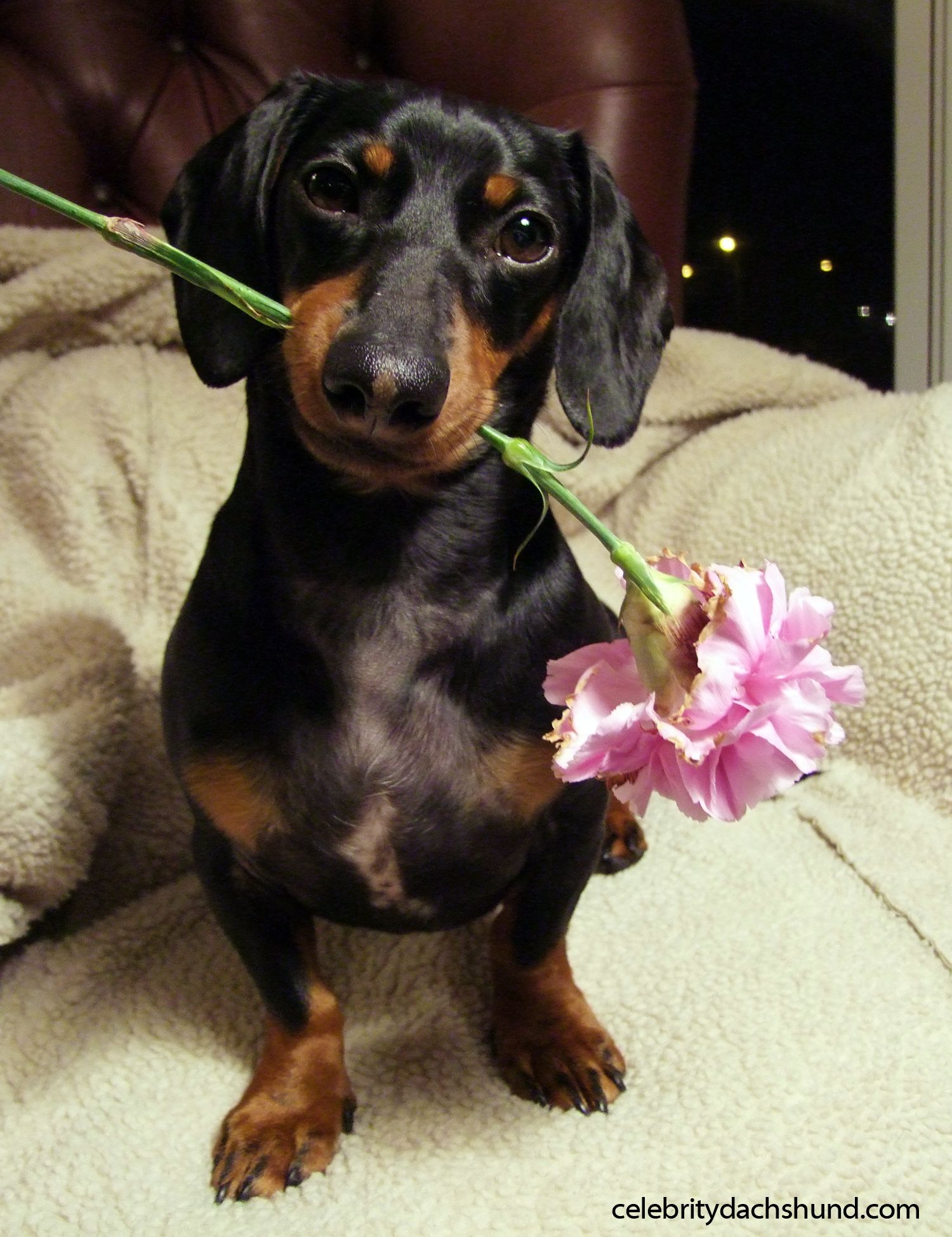 A Dachshund Valentine S Day Crusoe The Celebrity Dachshund