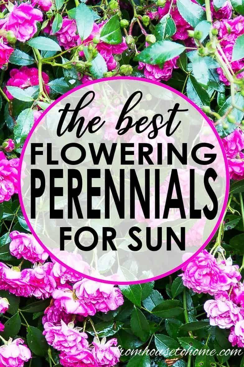Full Sun Perennials 15 Beautiful Low Maintenance Plants That Thrive In The Sun Full Sun Perennials Sun Perennials Sun Plants