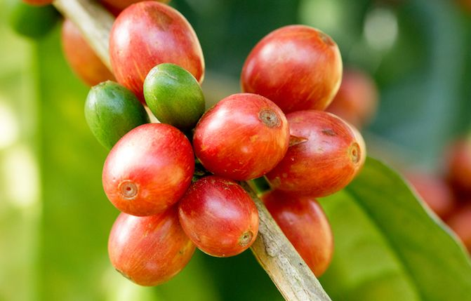 Study After Study Is Showing The Benefits Of Coffee For Health But Coffee Is Also Good For The Skin Replere Coffee Plant Green Coffee Extract Coffea Arabica
