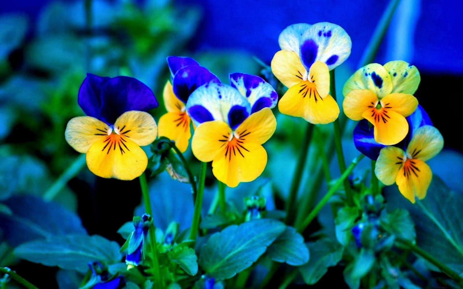 Download 76 Wallpaper Bunga Terindah Untuk Handphone Pansies Flowers Spring Flowers Wallpaper Pansies