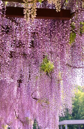 Fancy A Glass Of Rose Under The Wisteria With Images Plants Beautiful Gardens Beautiful Flowers