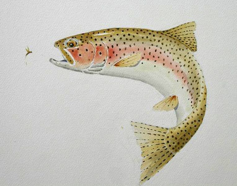 Maine Brook Trout Drawing Google Search Tattoo Images