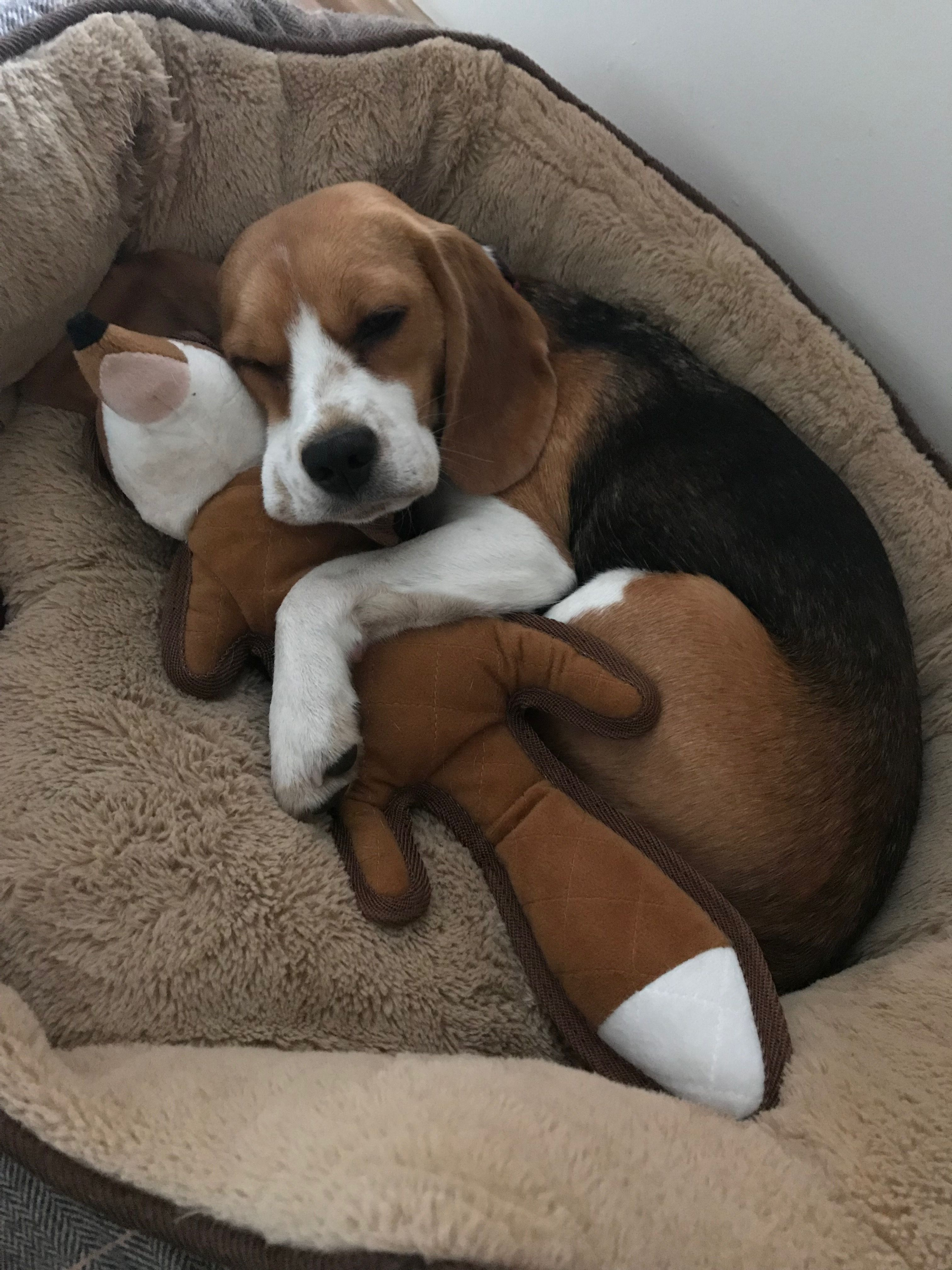 A Real Good Sleep With My Friend Beagle Puppy Beagle Dog
