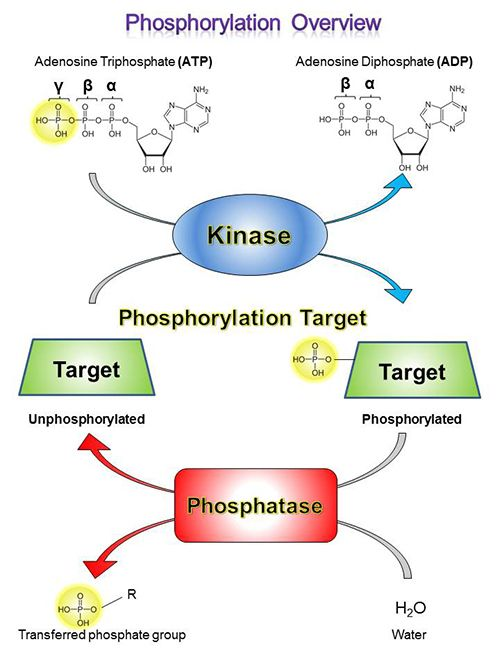 We're proud to announce the launch of our new Protein Phosphorylation  webpage! Learn all about the fundamentals of protein phosphoryla…    Biology, Learning, Science