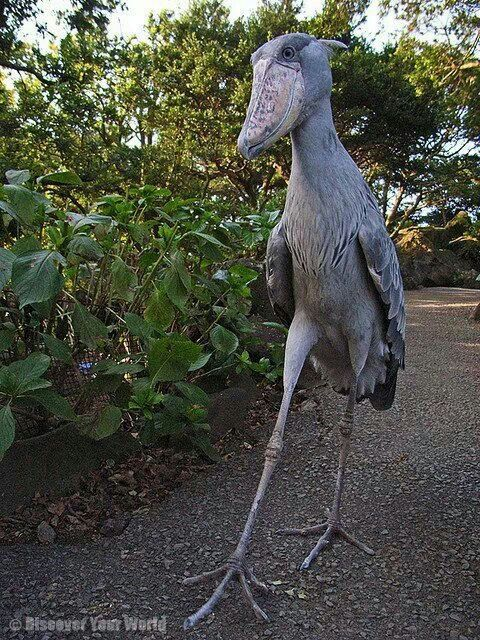 "Shoebill...My favorite bird.. Mother Nature at her finest! I don't know who ""mother nature"" is but I know God has some awesome handiwork!!!"