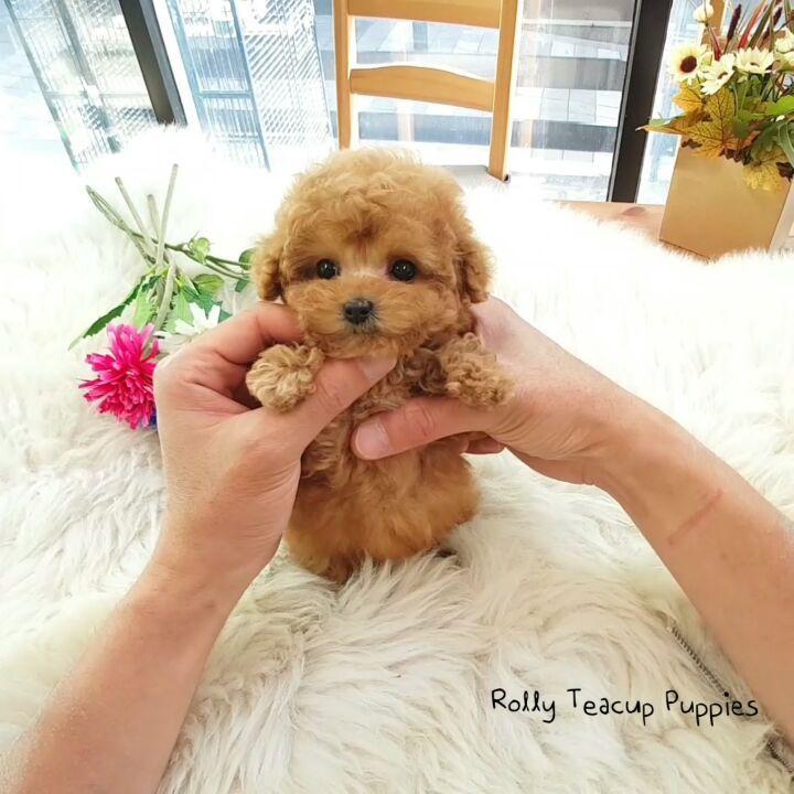 "Rolly Pups INC. on Instagram ""💗💗PRETZEL💗💗 MICRO Poodle"