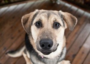 Indie Is An Adoptable German Shepherd Dog Dog In Surrey Bc Indie