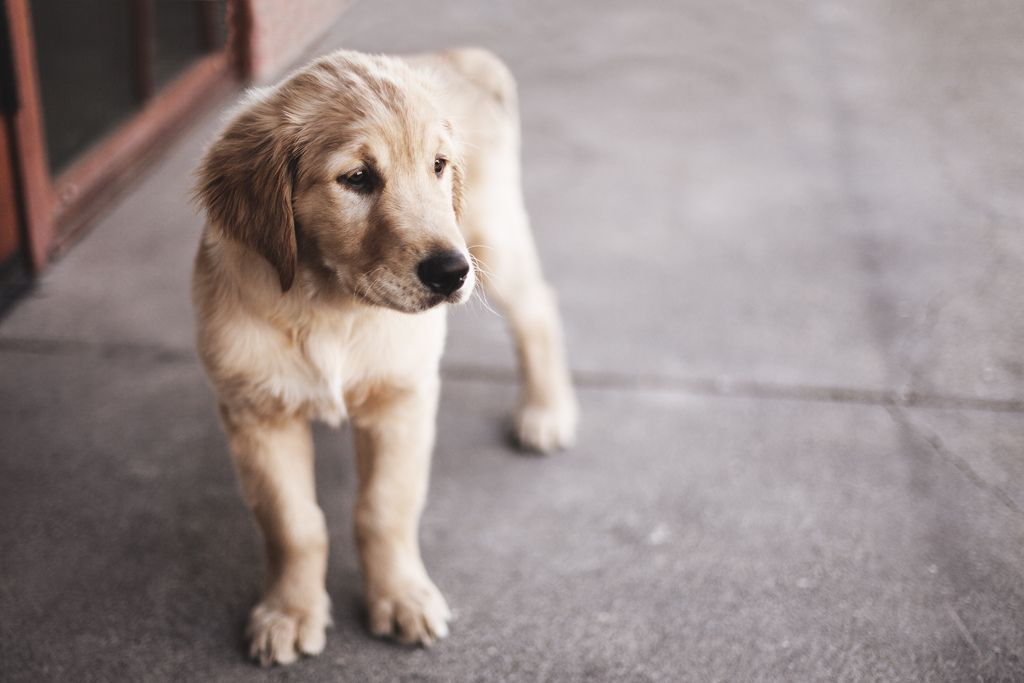 Gru Dogs Golden Retriever Old Golden Retriever Golden Puppy
