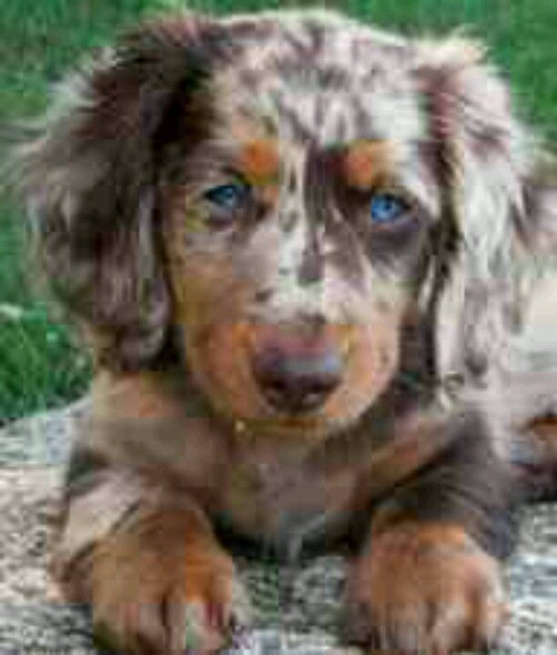 Chocolate Blue Merle Aussie Dapple Dachshund Puppy Dapple