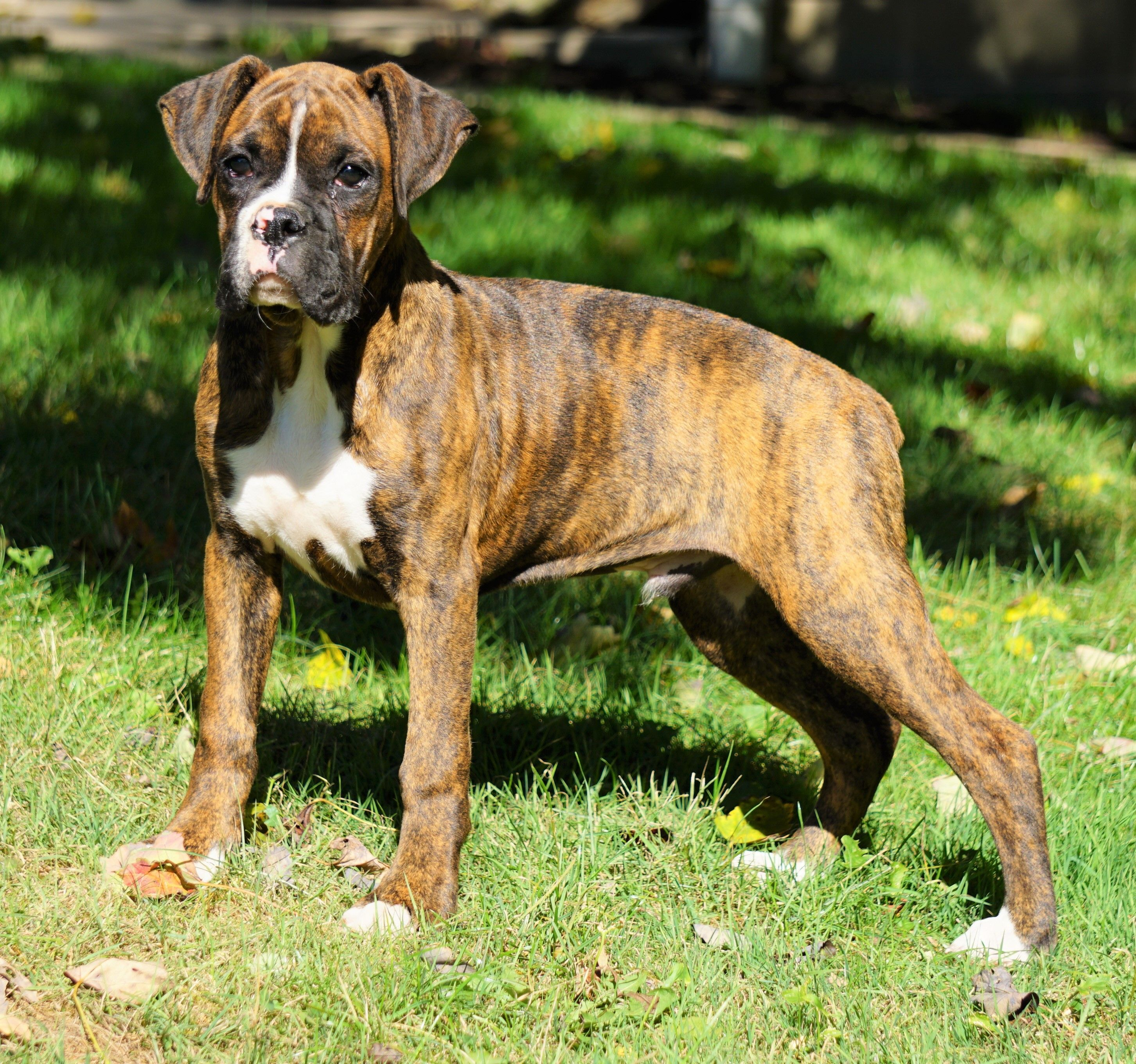 Pin By Tina K On Pets In 2020 Boxer Puppies For Sale Boxer Puppies Best Dogs For Kids